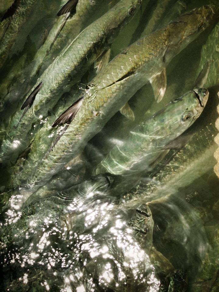 Best Kept Secret – November Fishing off Fort Myers & Sanibel Islands